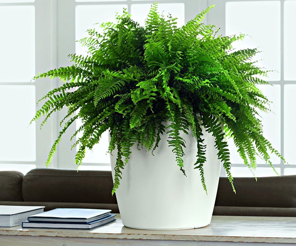 Self Watering Indoor Planters Part - 41: Example Use Of Matte White Round Lechuza Indoor Or Outdoor Self Watering  Planter